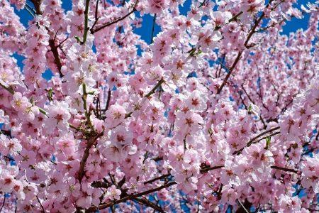 桜満開!栄町!アバロン!