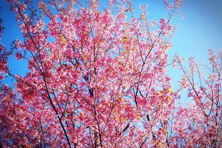 桜の花が咲き始めた「アバロン」です!